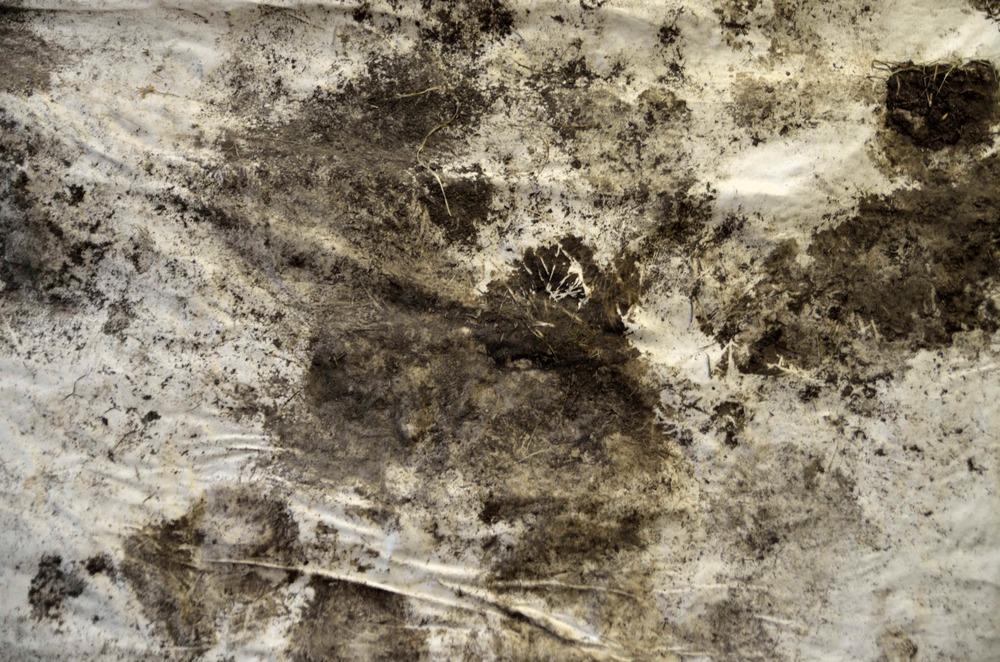 Oxen Print (Morning Routine) , earth, manure, canvas, oxen, 4x4', 2015