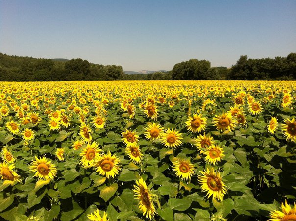 Yoga holiday in Italy - sunflowers.jpg