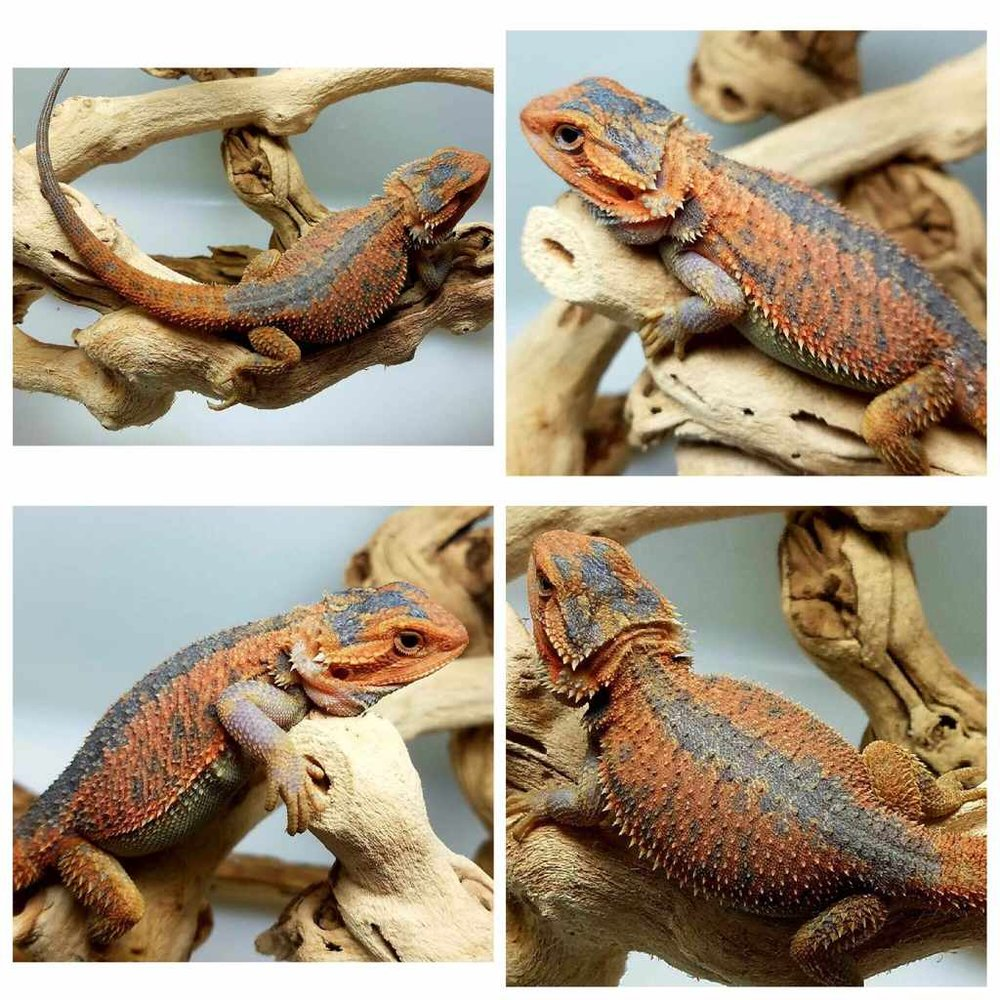 a guide to bearded dragon mutations and genetic traits