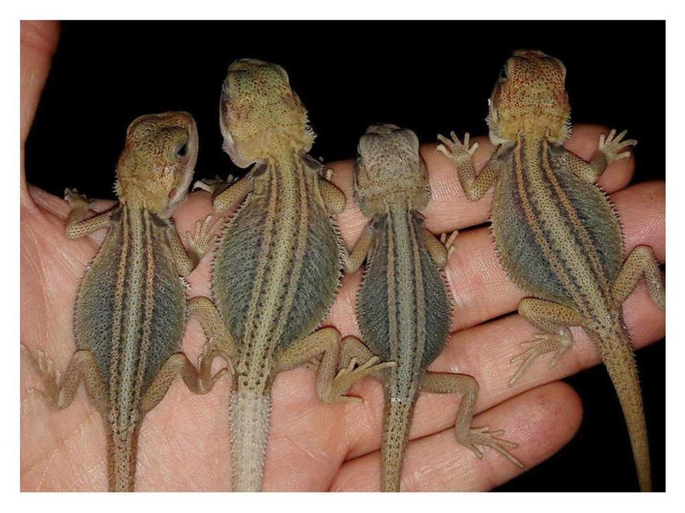 genetic stripe bearded dragons.jpg