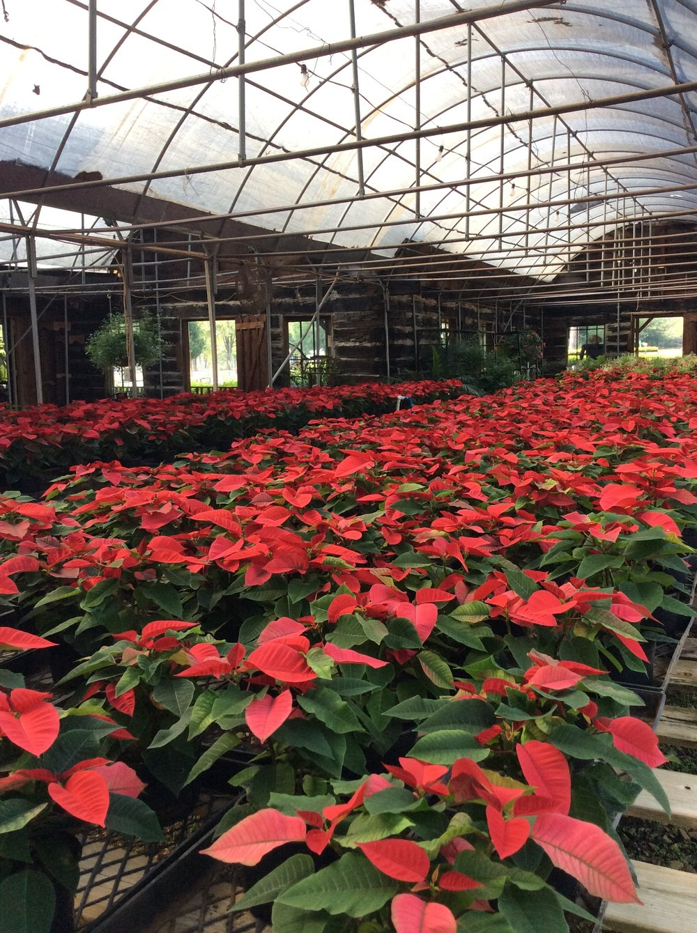 Poinsettia are beautiful.
