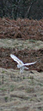 Barn owl, Highland Perthshire