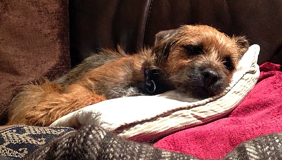 Border terriers tend to make themselves as comfortable as possible. Good job they're charming with it.