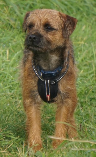 Classic Border terrier look, even if he is a bit long-legged