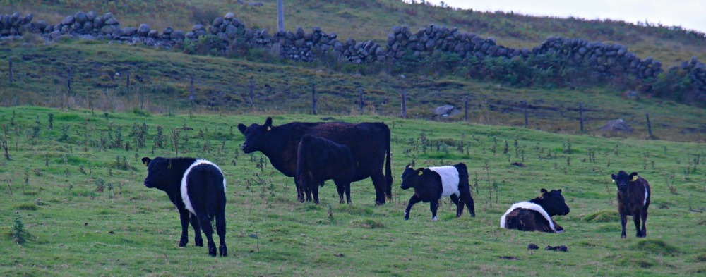 Belted Galloway cattle