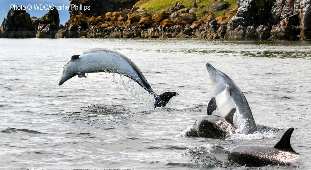 Moray Firth dolphins close inshore
