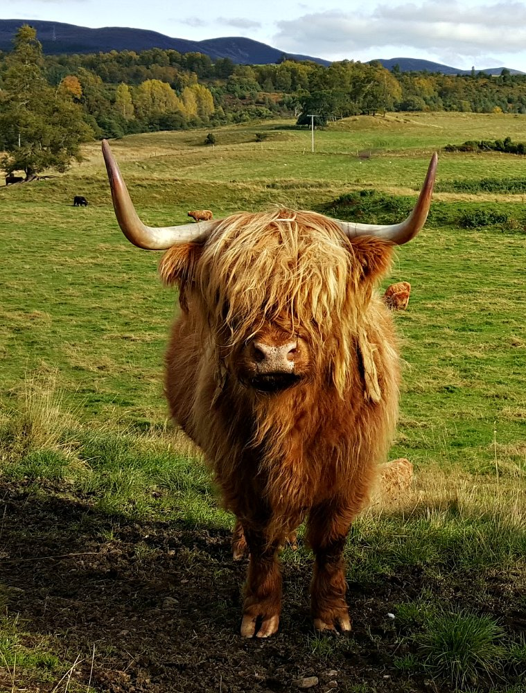 Classic red Highland cow or bull or...hard to tell really. The upward pointing horns suggest it is female though.