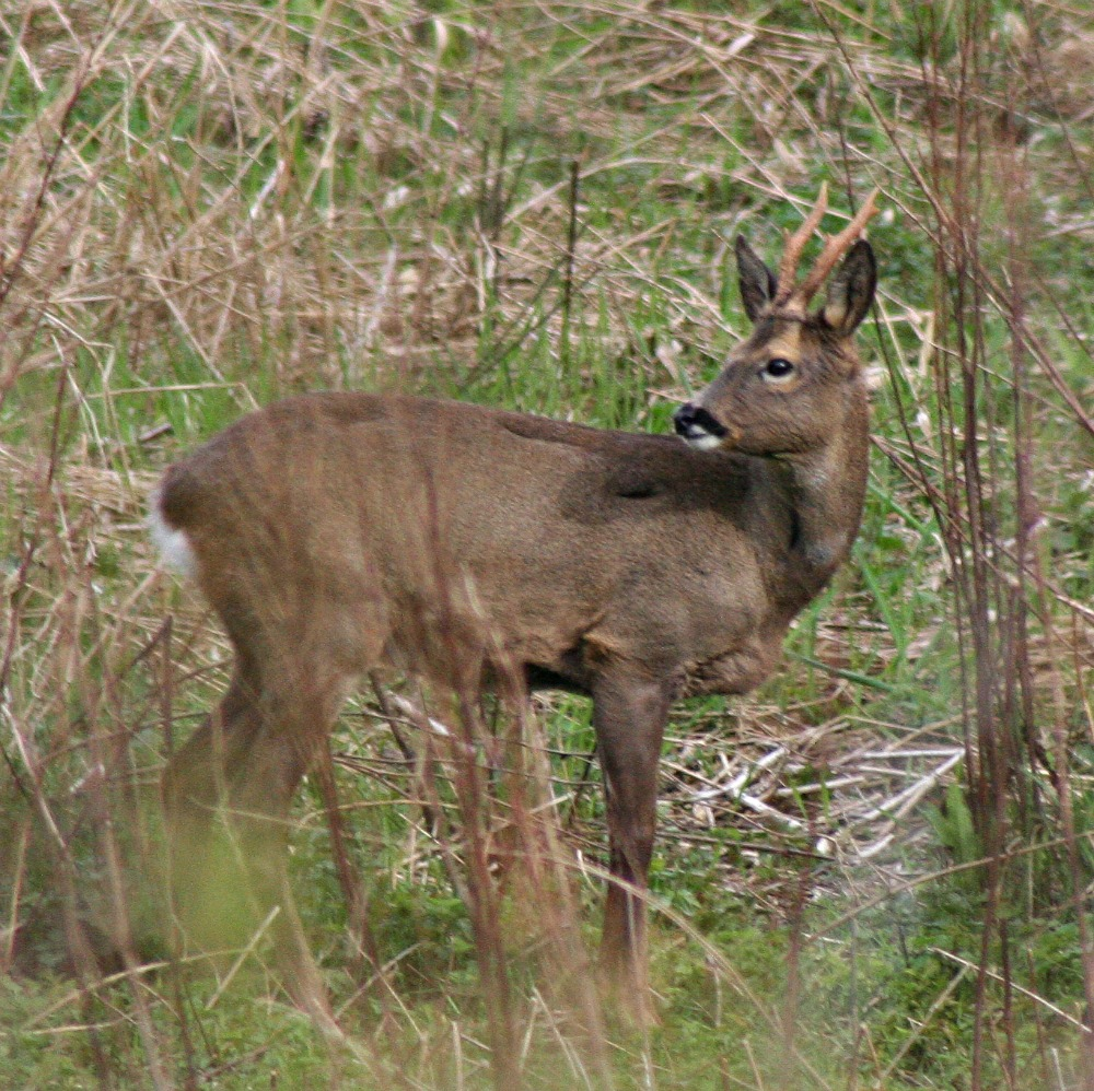 Roe deer - actually, roe buck - with chacteristic short antlers