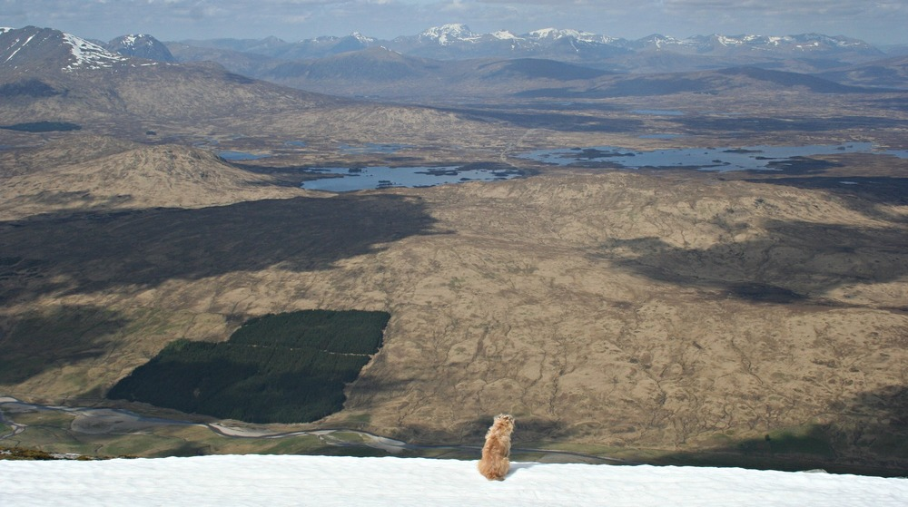 Border terrier cools down on a snow patch and looks over Rannoch Moor. Ben Nevis, centre, on horizon.