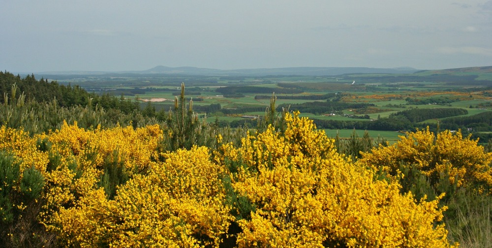 Looking east over the gorse by Monaughty (Monachty) Wood near Elgin, Moray
