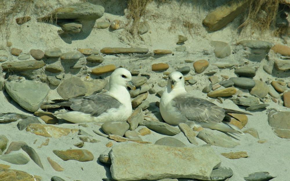 Normally, these fulmars would nest on cliffs. However, on North Ronaldsay, in keeping with the mildly eccentric air of the place, they nest on the sand.( Never seen that anywhere else in Scotland.) When there is no wind, they sometimes fail to gain airspeed for take-off. Hence the local sport of ' tossing the fulmar ' to help get them airborne. Read more on the North Ronaldsay page.