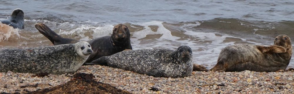 Our seals are available in a wide range of colours and fabrics, though mostly sealskin.