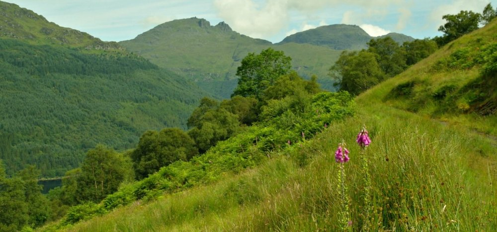 High summer on the Three Lochs Way. The Cobbler is on the skyline, there's a glimpse of Loch Long, lower left, and the foxgloves (pink, foreground) are in flower. Loch Lomond is just over the hill.