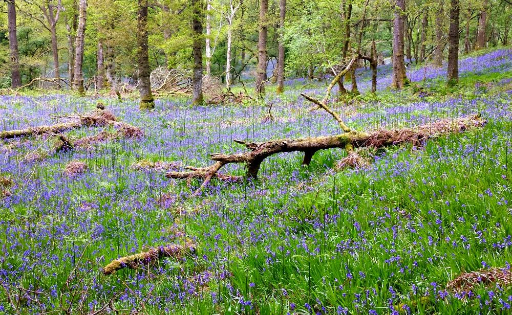 Carpets of bluebells on Inchcailloch - Loch Lomond.
