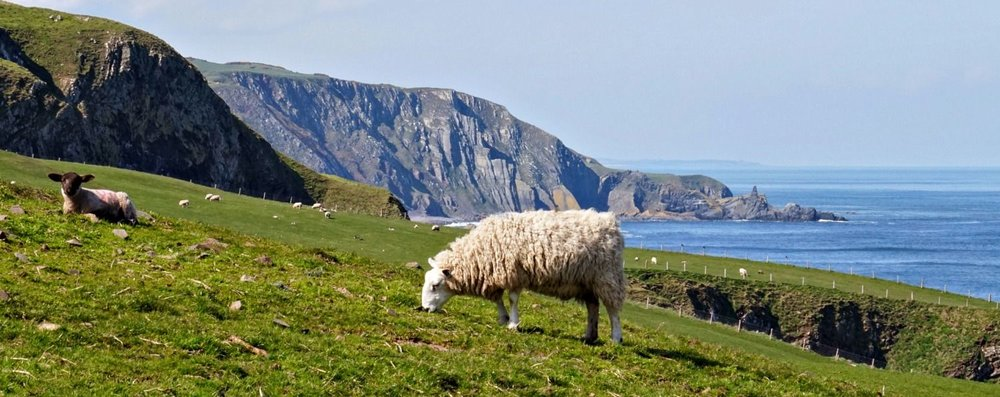 Sheep in the south of Scotland, actually by the road to  St Abb's Head , with the impressive cliffs running from St Abb's Head off to the north-west.