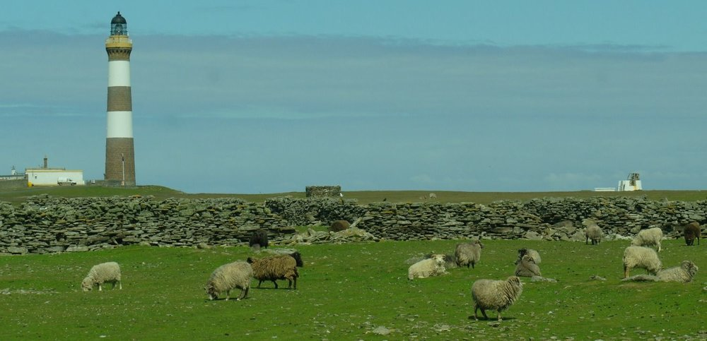 Click the picture if you want to get to a DEDICATED PAGE ON NORTH RONALDSAY SHEEP. Yikes. Note wall to keep sheep off most of the island and on the shore or possibly the golf course. Lots more going on in this picture, explained on that (gasp) dedicated page.