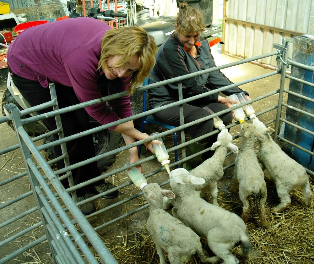 Sometimes hand-feeding of wee lambies is unavoidable. On this Orkney small-holding you can see which lady is the experienced owner and which is the rookie assistant. (Actually, a guest from her self-catering.)  Yes, at first sight hostess appears to have three hands but is holding the third bottle between her knees. Poor Johanna has managed to cross her arms and will be severely marked down by the judges.