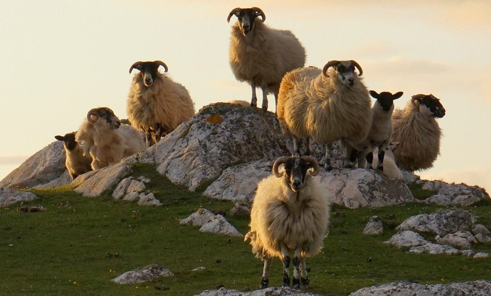 Oh, all right, just one more. Sheep posing at sunset. These must be blackfaces. Right?