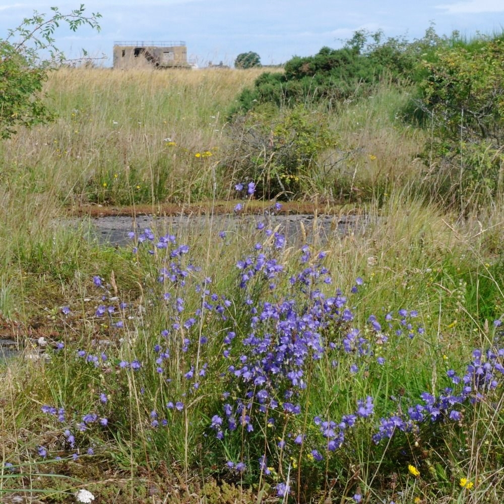 Here are some more Scots bluebells. These exceptionally large and lush examples are - somewhat poignantly - growing on what was the main runway of the wartime aerodrome of RAF Dallachy, in Moray. The old control tower is in the background.    More on this  Strike Wing  and its memorial on a blog piece found by clicking the link.