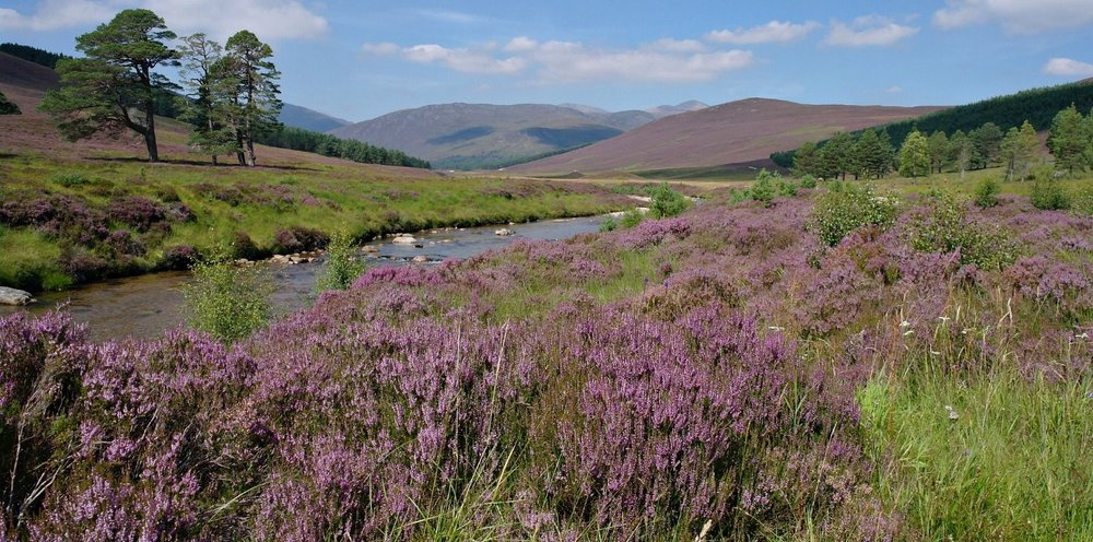 August by the track in Glen Lui, Mar Lodge Estate, Aberdeenshire (near Braemar). The banks of the Lui Water are covered in fairly lush common heather (or ling).