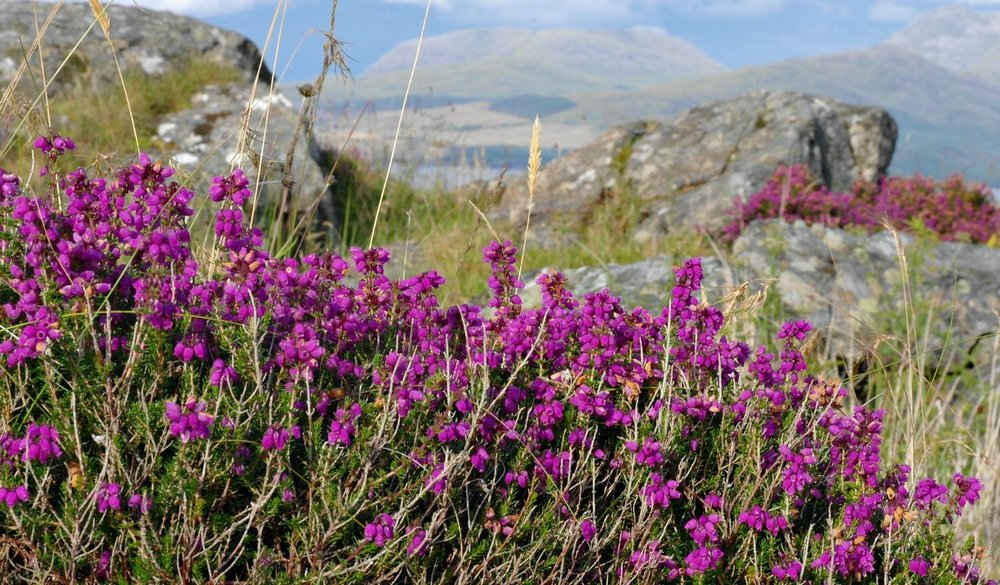 Here's bell heather in full bloom in early August by the seashore in Sleat, Isle of Skye. Note the tiny 'bells' and brighter colour than common heather.