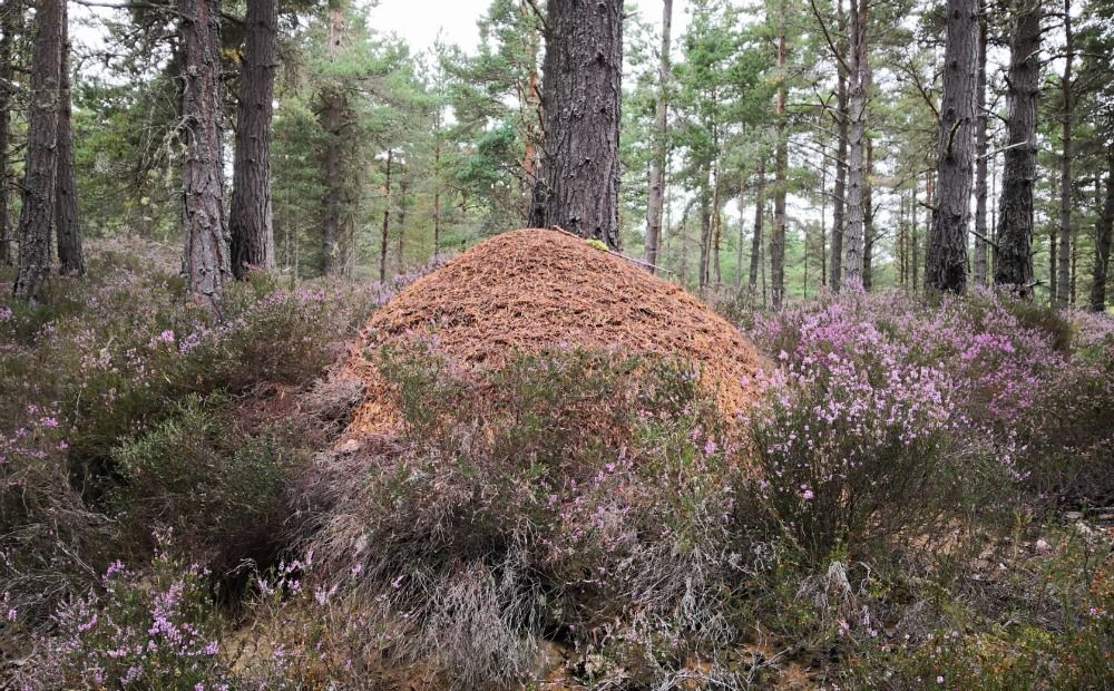 Heather and anthill in the pinewood 'understorey', near Boat of Garten, Speyside.
