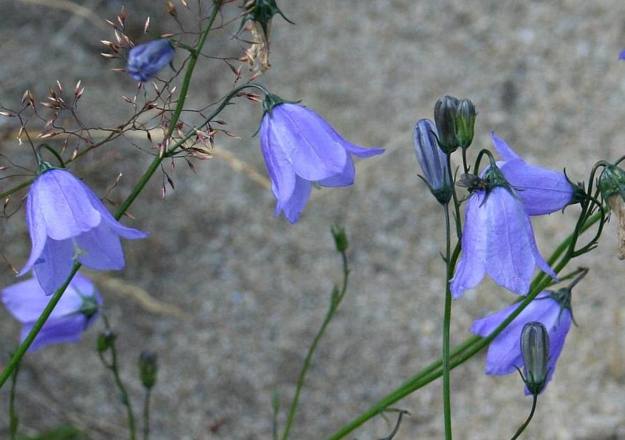 Scots bluebells