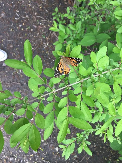 LP_Pre-K_Butterfly2.png