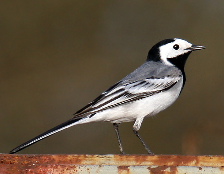 White-Wagtail-Andreas-Trepte-www.photo-natur.de_..jpg