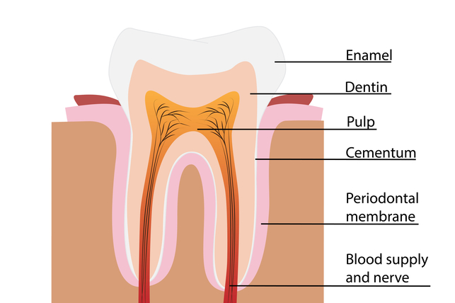 Layers of tooth diagram electrical work wiring diagram what are teeth made of growing grins rh growinggrins com teeth roots diagram tooth nerves diagram ccuart Gallery