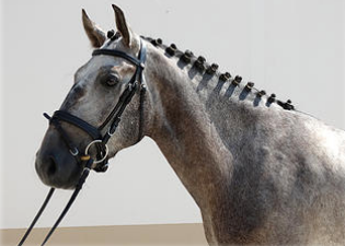 Lusitano horse for sale
