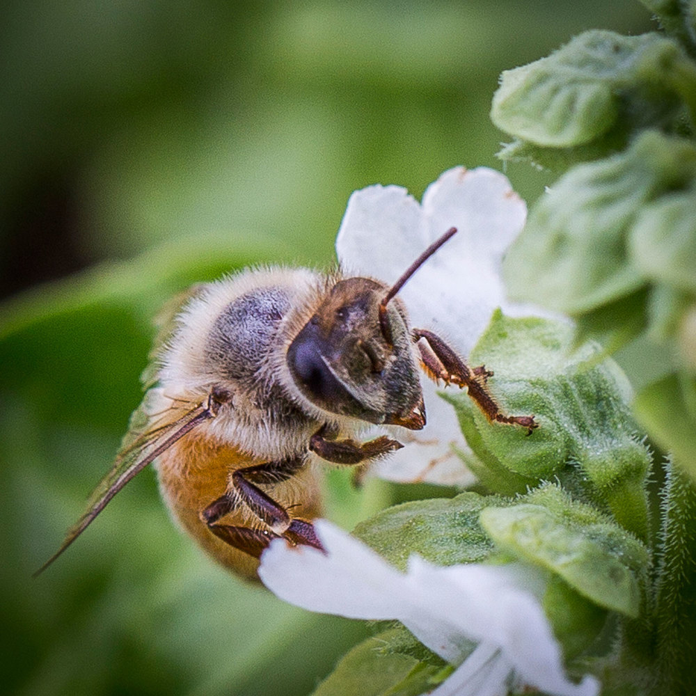 Bee-in-Basil.jpg