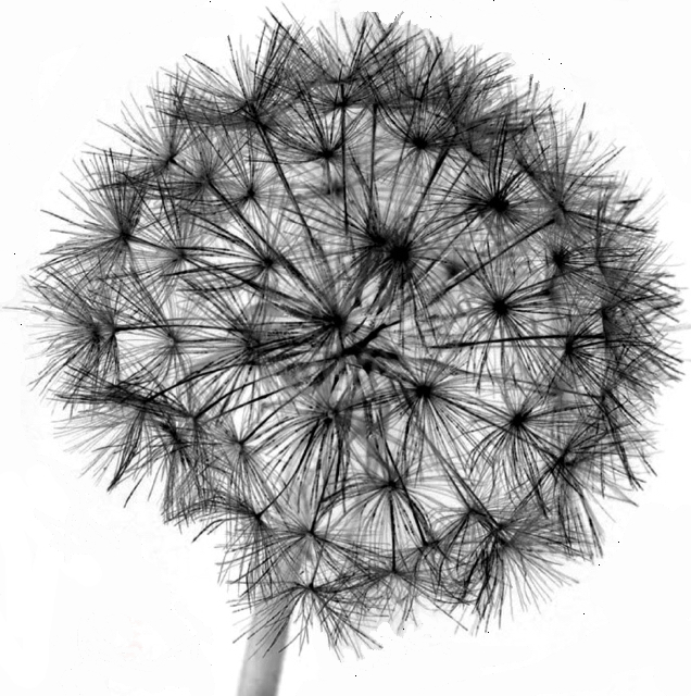 DandelionReverse - 1 (1)-2.jpg