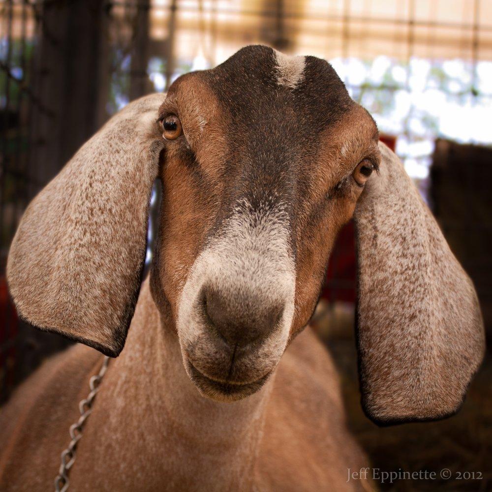 dairy goat 2.JPG