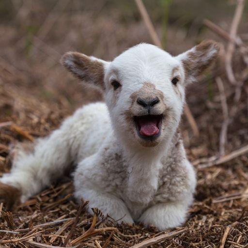 1487249462-happy-lamb.jpg