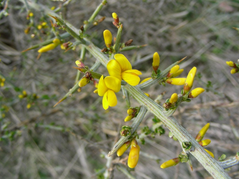 Aliaga flowers (Genista scorpius). This plant grows abundantly in the Sierra María los Vélez. It likes poor soil, and is a leguminous nitrogen fixer.