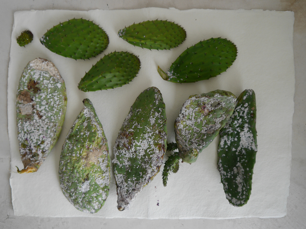 Prickly pear cactus pads infected with wild cochineal, collected in the local area. The cactus and the cochineal original come from Central America, and indicate Spain's colonial past.
