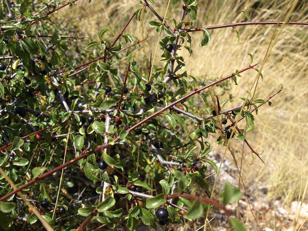 Espino de tintes (Rhamnus saxatilis)