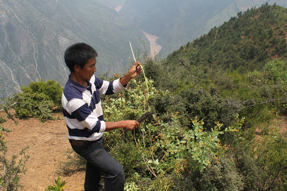 He Xiu Jun collecting bark for paper from a local species of Daphne.
