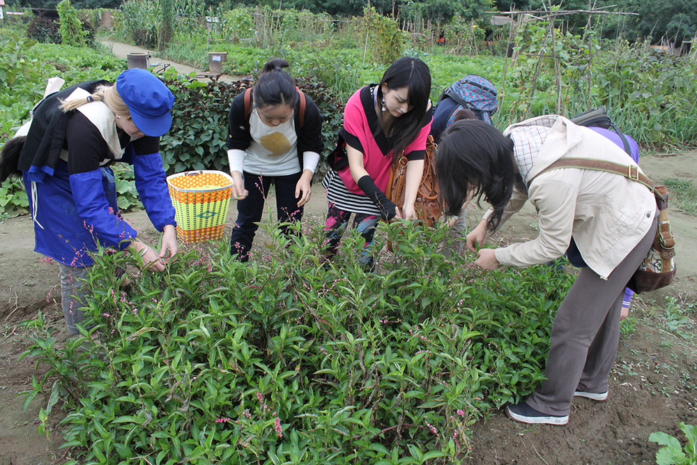 Harvesting Chinese Indigo at Little Donkey Farm, Beijing.