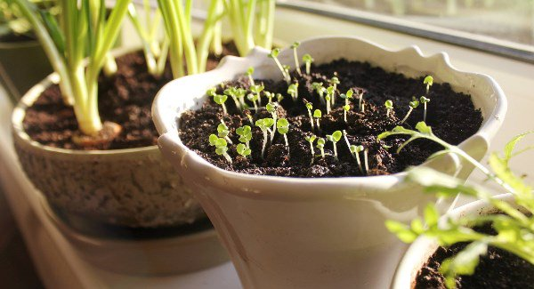 Youngseedlinggrowinginpotonwindowsill_large.jpg