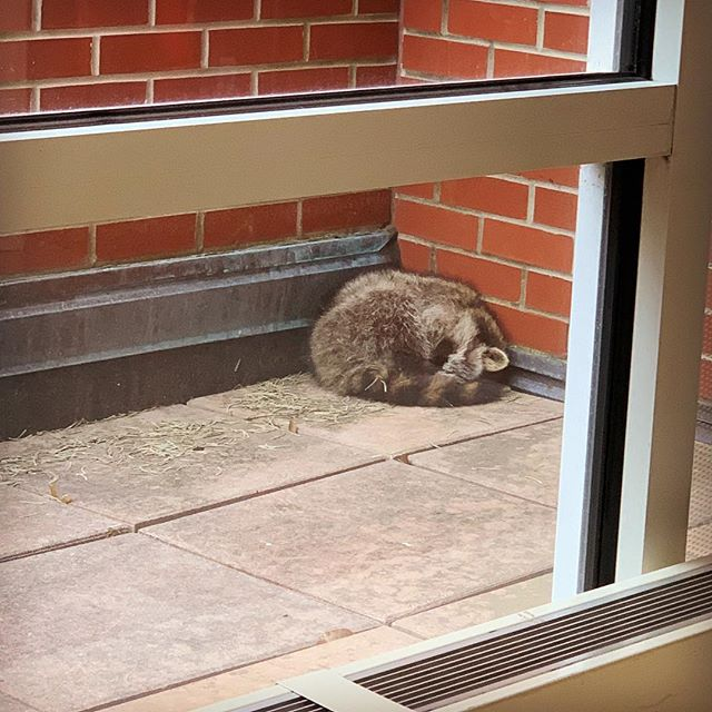 The arts and journalism building has a sleeping bandit on its patio. It might have been a good idea last night but will have a surprise awakening to on lookers. #ballstate #raccoon