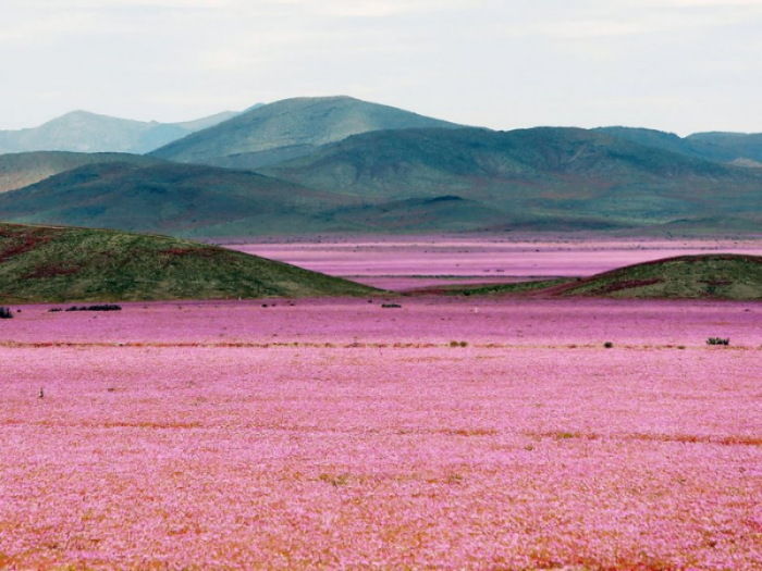 Atacama Desert in bloom by Mario Ruiz