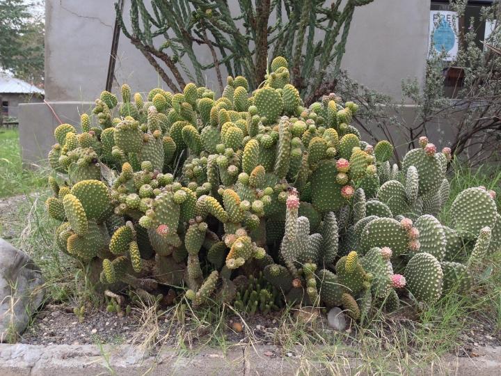 Marfa Cactus - Maleeha Sambur.jpg