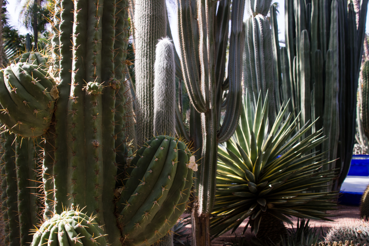 Cactus garden at YSL's Jardin Majorelle | photo by Tawfeeq Khan