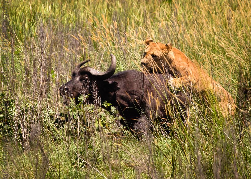 Catch ! A lioness of the Tsaro pride jumps on the back of a Cape Buffalo on Duba Plains, Botswana.