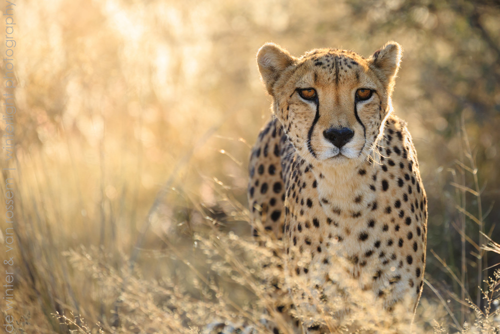 Cheetah Approach