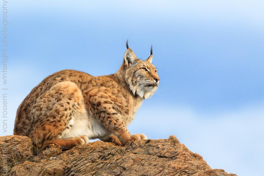 Iberian lynx on the lookout II