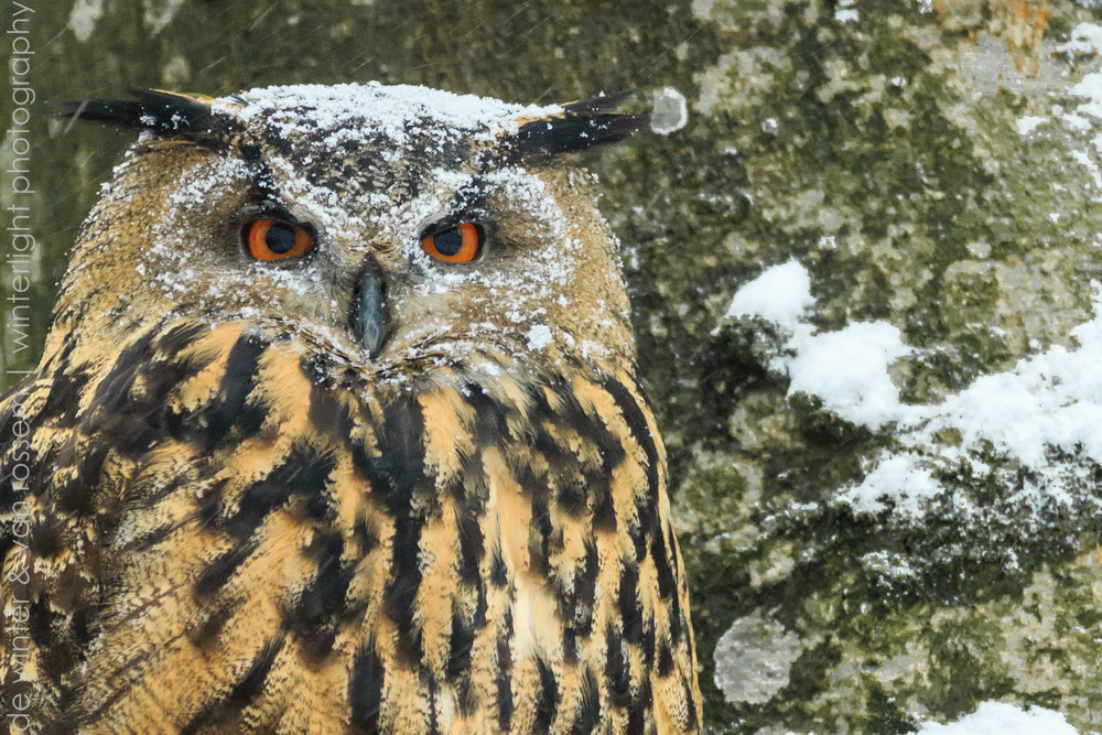 Eagle-owl (Bubo bubo) close up in Bavarian Forest National Park Germany