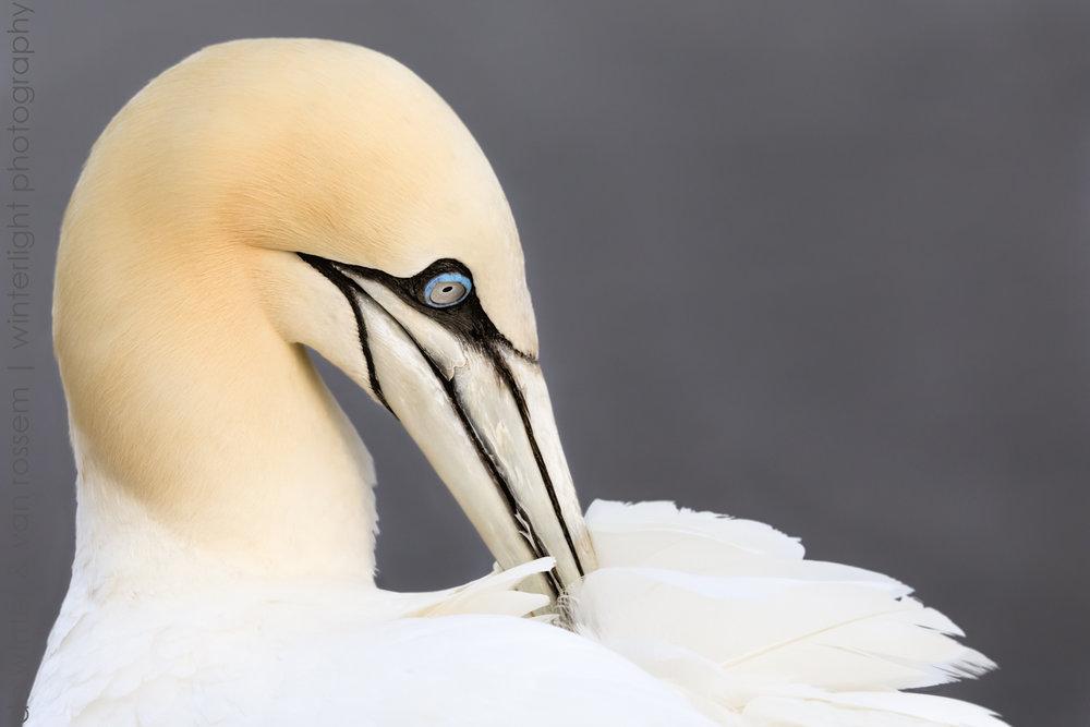 Gannet Grooming